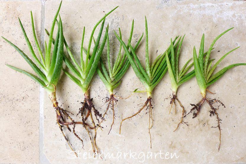 Aloe Vera als Heilpflanze