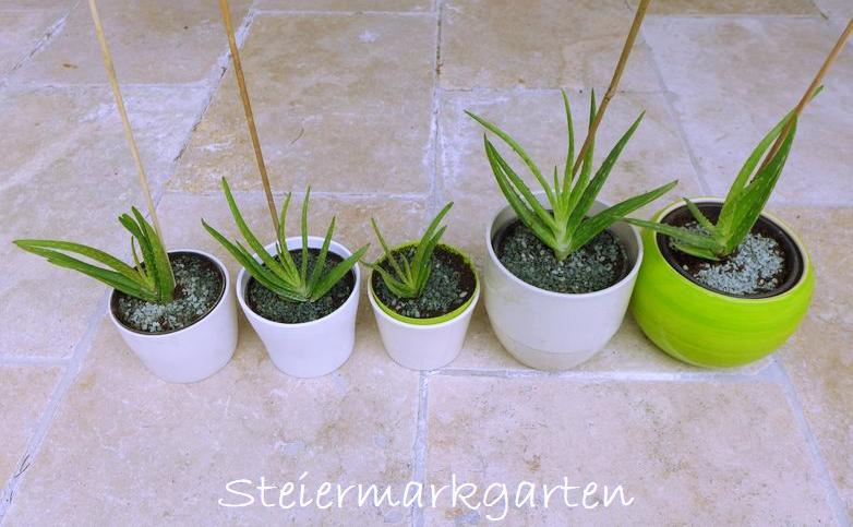 Aloe-Vera-Kindel-Steiermarkgarten