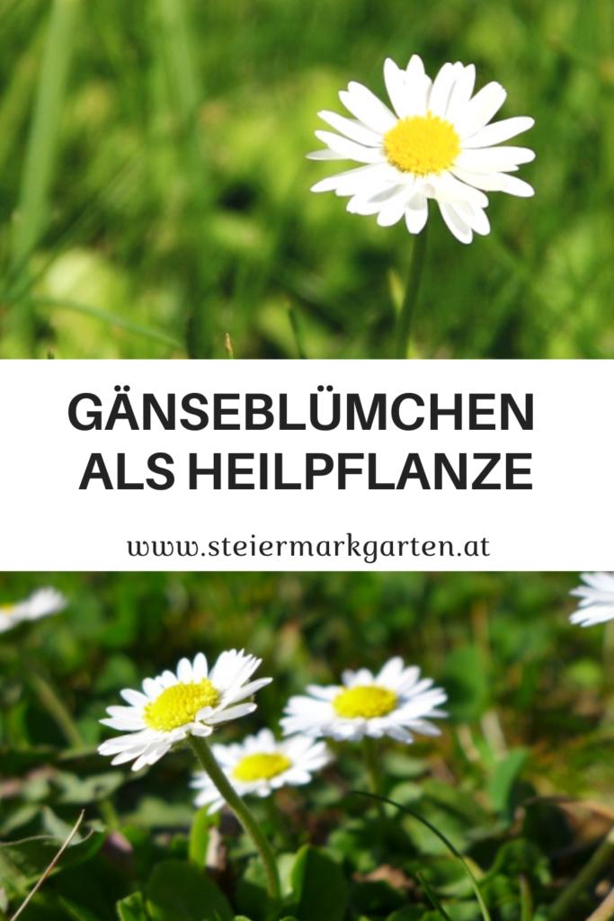 Gaensebluemchen-Heilpflanze-Pin-Steiermarkgarten