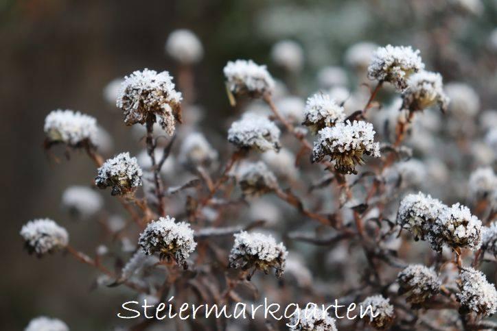 Pflanzen-im-Schnee-Steiermarkgarten