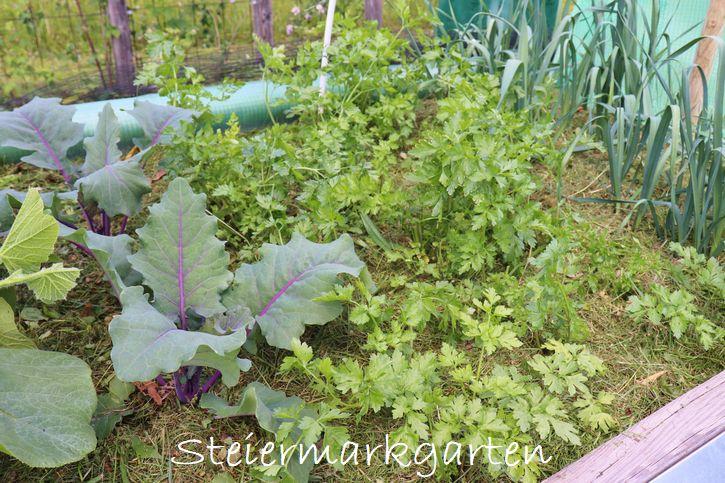 Das passende Mulchmaterial im Gemüsebeet ist Rasenschnitt bzw. Grasschnitt