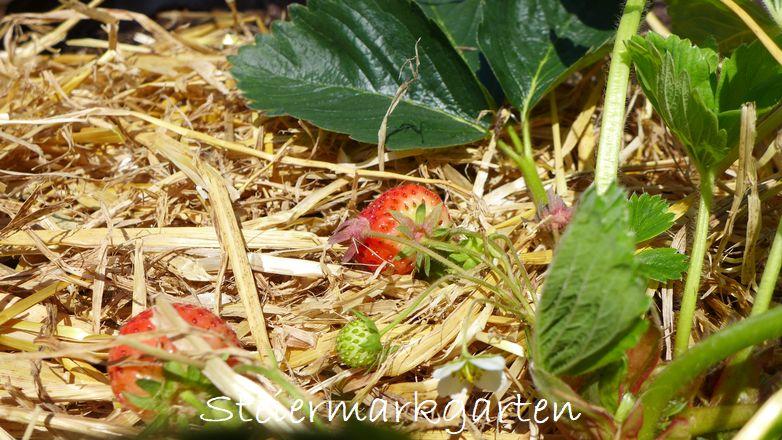 Stroh ist u.a. das passende Mulchmaterial für Erdbeeren, Zucchini, Tomaten