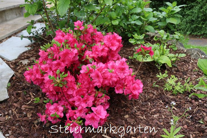 Rindenmulch ist das passende Mulchmaterial für saure Böden, auf denen Azaleen, Rhododendren, Farne, Hortensien, Heidelbeeren, und ähnliche wachsen
