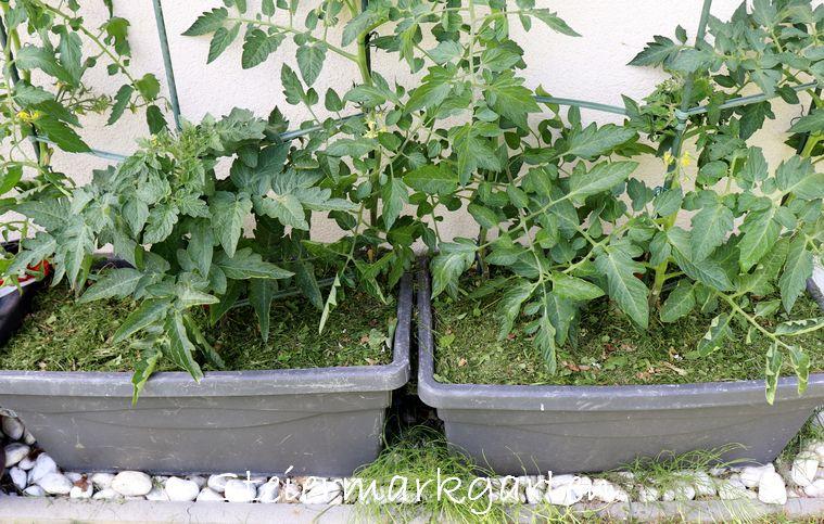 Auch für Gemüse im Topf ist Rasenschnitt bzw. Grasschnitt das passende Mulchmaterial