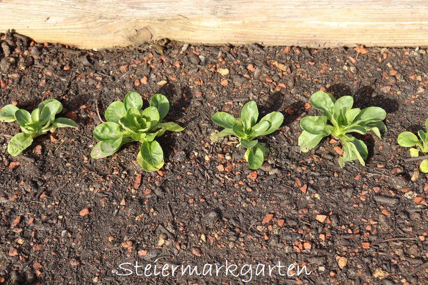 Vogerlsalat Feldsalat in Bio Schwarzerde von Sonnenerde anbauen