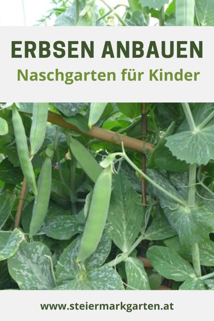 Erbsen-anbauen-Naschgarten-fuer-Kinder-Pin-Steiermarkgarten