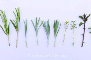 Stecklinge – Kräuter vermehren leicht gemacht