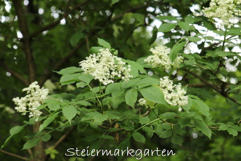 Holunderstrauch / Holunderbusch mit Holunderblüten erkennen
