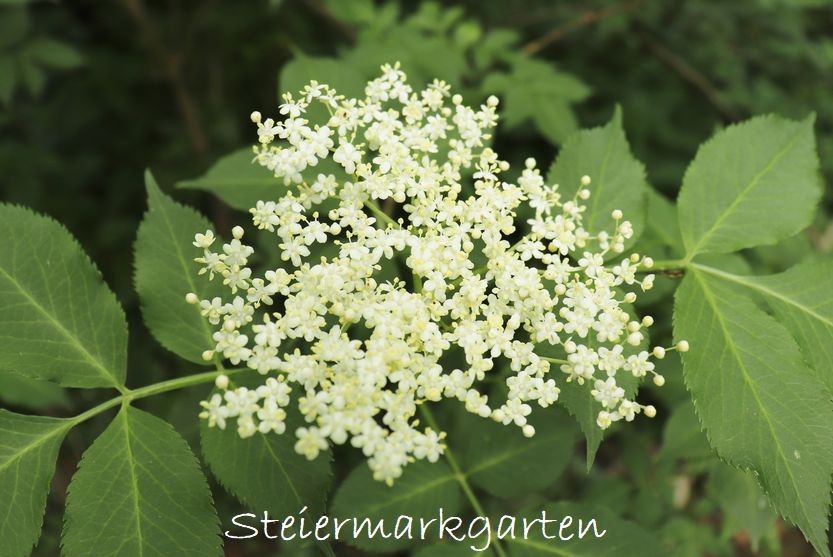 Holunderblueten-Steiermarkgarten